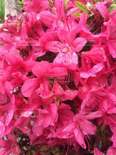 花,雨,ピンク,躑躅,雨の日,つつじ,雨のつつじ,躑躅の花