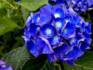花,雨,屋外,緑,水,紫,紫陽花,色,色・表現