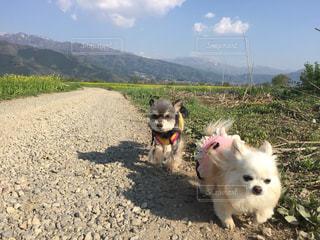犬,散歩,ハイキング