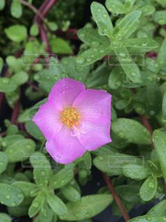花,雨,植物,ピンクの花,外,雫,梅雨,天気,雨の日