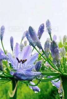 透けるような紫の写真・画像素材[2239469]