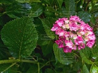 自然,花,雨,屋外,ピンク,緑,赤,綺麗,あじさい,紫,葉,景色,花びら,爽やか,紫陽花,小さい,雫,梅雨,グラデーション,接写,クローズアップ,アジサイ,開花,孤立した