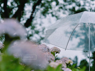 花,傘,屋外,あじさい,水,紫陽花,rain,雫,flower,雨の日,umbrella
