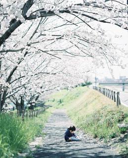 桜と息子2019の写真・画像素材[2262973]