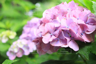 自然,公園,花,雨,屋外,ピンク,緑,植物,景色,紫陽花,梅雨,天気,草木,雨の日