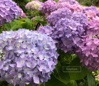 風景,屋外,紫陽花,霧島,ガーデン,めぐみ