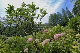 自然,花,木,雨,屋外,あじさい,季節,草,紫陽花,梅雨,6月,天気,草木,雨の日