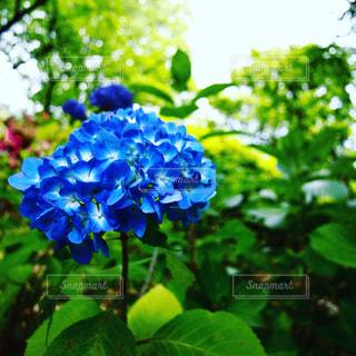 自然,花,木,屋外,あじさい,季節,景色,紫陽花,梅雨,6月,天気,草木,雨の日