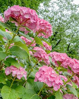 花,雨,屋外,ピンク,あじさい,季節,紫陽花,梅雨,6月,天気,天候,草木,雨の日