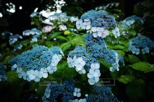 自然,花,雨,屋外,あじさい,葉,季節,草,紫陽花,梅雨,6月,天気,天候,雨の日