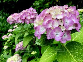 雨,水滴,紫陽花,梅雨,天気,雨の日