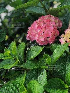 花,雨,ピンク,水滴,鮮やか,紫陽花,梅雨
