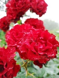 花,雨,赤,水滴,バラ