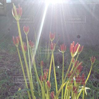 後光刺す彼岸花の写真・画像素材[2888175]