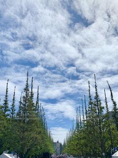 色づく前の銀杏並木の写真・画像素材[2441061]