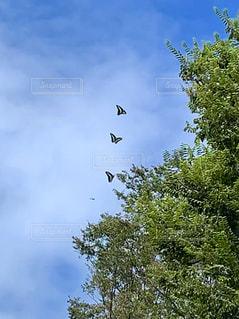 三頭の蝶の写真・画像素材[2984087]