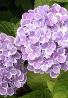 紫陽花の写真・画像素材[3377330]