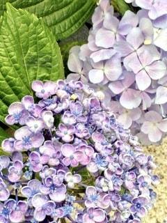 紫陽花の写真・画像素材[3377336]