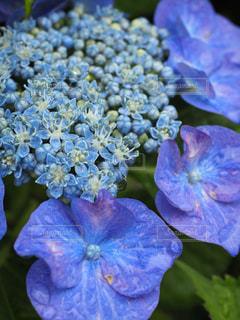 風景,花,雨,屋外,緑,水,水滴,鮮やか,樹木,紫陽花,雫,梅雨,天気,カラー,草木,雨の日,フローラ