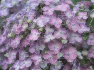 風景,花,雨,屋外,ピンク,あじさい,水,水滴,景色,鮮やか,紫陽花,雫,梅雨,天気,ふんわり,カラー,草木,雨の日,エアリー,ガーデン,フォトジェニック,フローラ,オタフクアジサイ