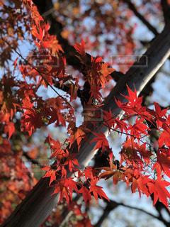秋,赤,樹木,草木