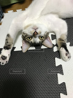 白い背景に横たわる猫の写真・画像素材[2265614]