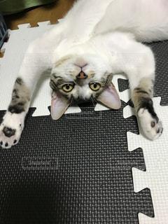白い背景に横たわる猫の写真・画像素材[2303472]