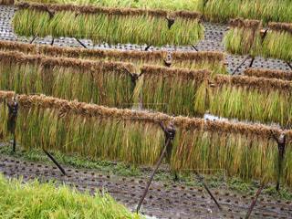 稲の写真・画像素材[2396699]