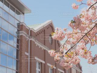 造幣局の桜の通り抜けの写真・画像素材[2398450]