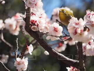 花,春,鳥,梅,散歩,樹木,メジロ,草木,ブロッサム