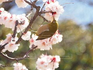 メジロと梅の写真・画像素材[4212341]