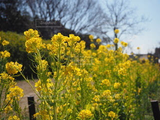 花,屋外,黄色,菜の花,樹木,草木