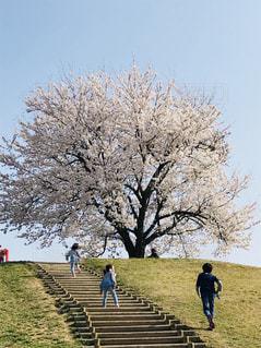 公園,桜,晴天,お散歩,お出かけ,子供達