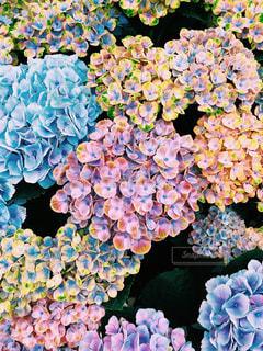 花,鮮やか,紫陽花,梅雨