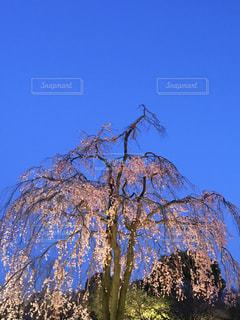 自然,空,桜,屋外,しだれ桜,樹木,枝垂れ桜,草木,さくら