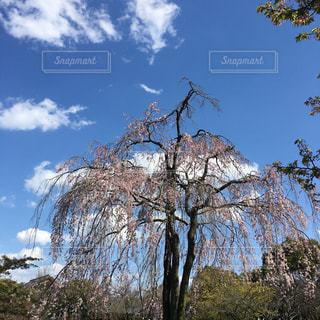 風景,空,桜,屋外,青い空,しだれ桜,樹木,枝垂れ桜,草木,日中