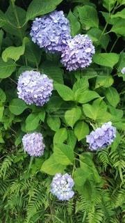 花,雨,屋外,緑,あじさい,青,紫,景色,紫陽花,梅雨,草木,アジサイ