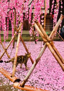 猫,花,動物,屋外,ピンク,梅,ペット,人物,枝垂れ梅,ネコ,しだれ梅