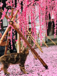 ネコと枝垂れ梅の写真・画像素材[2955900]