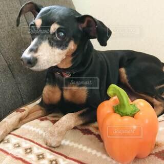 犬,食べ物,動物,野菜,食品,食材,パプリカ,フレッシュ,ベジタブル