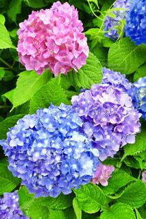 自然,花,カメラ,雨,ピンク,カラフル,綺麗,あじさい,癒し,ブルー,ムラサキ,お散歩,カメラ旅,お出かけ