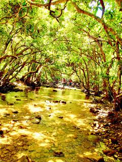 自然,風景,夏,綺麗,沖縄,大きい,生き物,思い出,西表島,マングローブ