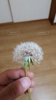 ふわふわ綿毛の写真・画像素材[2280531]