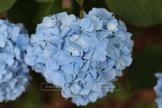 花,青,ハート,紫陽花,6月,マーク,おしゃれ