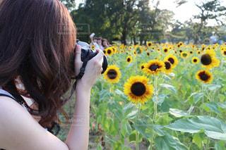 ひまわり畑フォトの写真・画像素材[2513975]