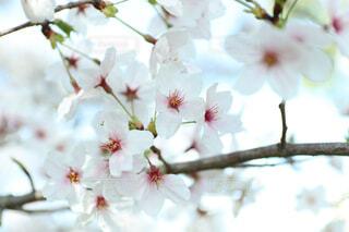 桜の写真・画像素材[4339653]