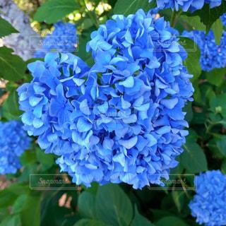 花,屋外,あじさい,ハート,紫陽花,ブルー,アジサイ