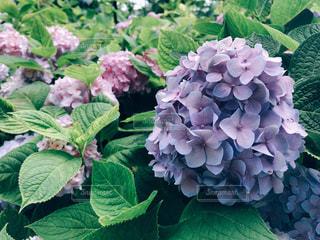 あじさい,景色,紫陽花,rainy,flower,梅雨,japan,beautiful,nature,flowers,Hydrangea,雨の日,アジサイ,ガーデン