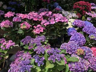 花,あじさい,紫陽花