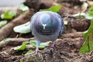 自然,鳥,ハート,野鳥,鳩,ハト,マーク,平和の象徴,ドバト